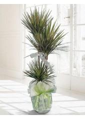 Dracena Marginata Saksı Çiçeği