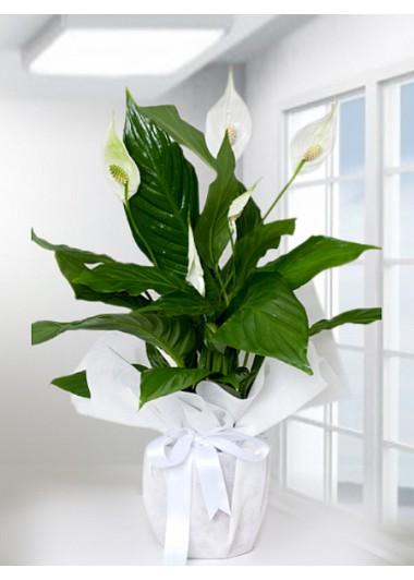Spathiphyllum Barış Saksı Çiçeği